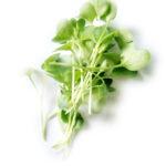 microgreens daikon